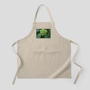 green hydrangea in garde Apron