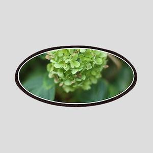 green hydrangea in garde Patch
