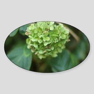 green hydrangea in garde Sticker