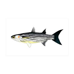 Cape Verde Mullet Wall Decal