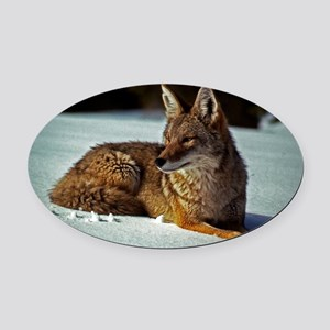 Coyote relaxing in the snow Oval Car Magnet