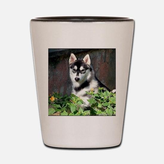Alaskan Malamute Dog Outside Shot Glass
