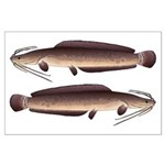 African Sharptooth Catfish Posters