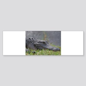 American Alligator, Everglades Bumper Sticker
