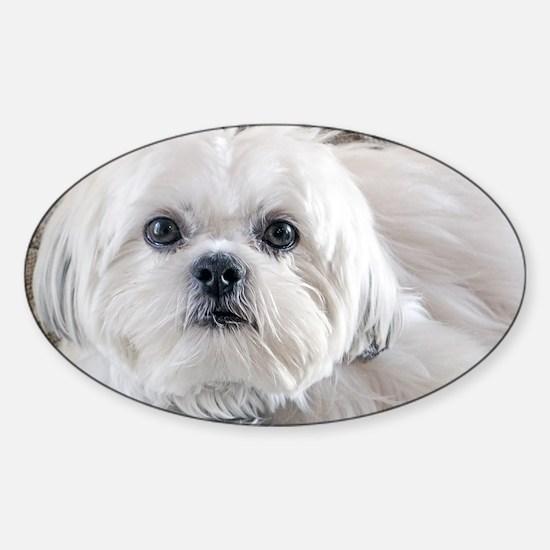 Unique Black and white shih tzu Sticker (Oval)