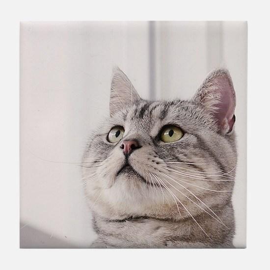american shorthair grey tabby Tile Coaster