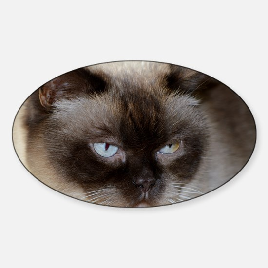 british shorthair chocolate seal point Decal