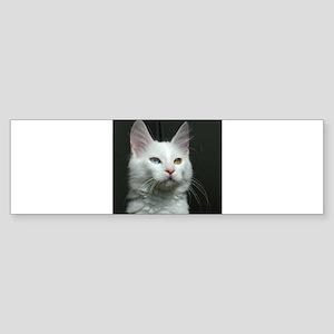turkish angora two colored eyes white Bumper Stick