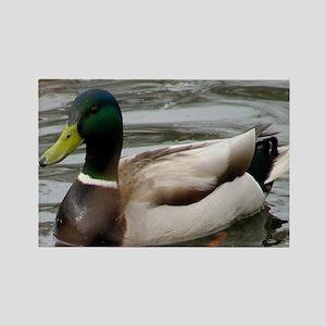 Mallard Duck On Scudder Pond Magnets