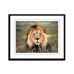 Male African lion Framed Panel Print