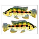 Banded Jewel Cichlid Posters
