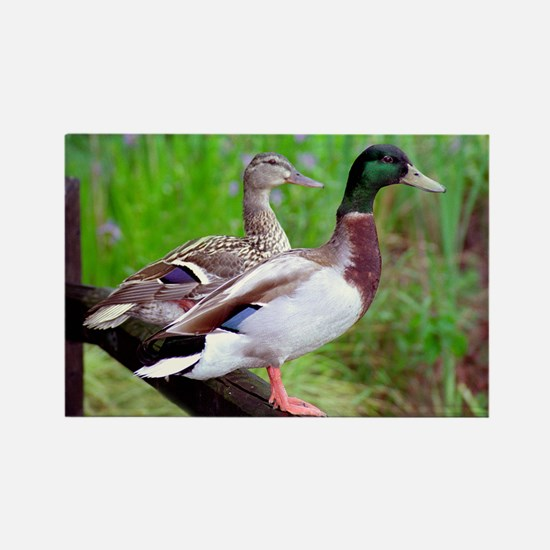 2 Mallards On a Fence Rectangle Magnet