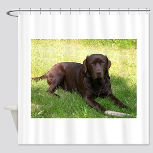 chocolate lab laying Shower Curtain