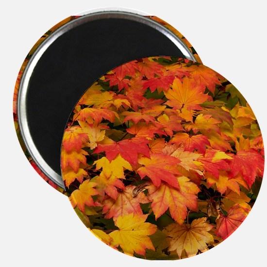Maple (Acer japonicum vitifolia) leaves Magnets
