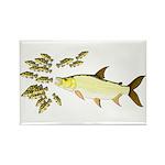 Giant Tigerfish attacks Jewel Cichlids Magnets