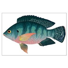 Nile Tilapia Posters