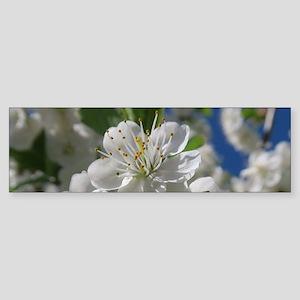 white cherry blossom in spring agai Bumper Sticker