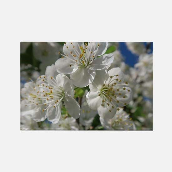 white cherry blossom in spring against a b Magnets