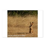 Jackrabbit Sitting Postcards (Package of 8)