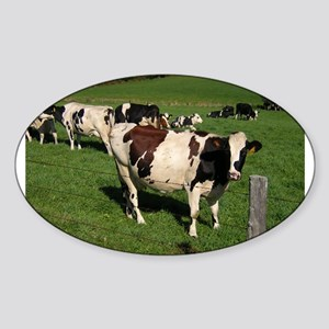 Berkshire County Cows Oval Sticker