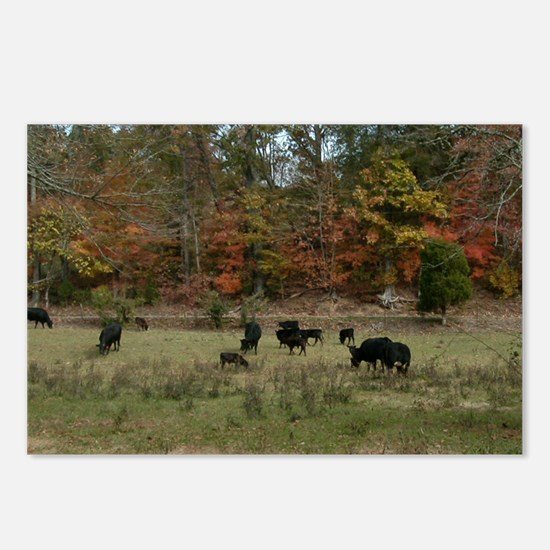 Fall Angus Postcards (Package of 8)