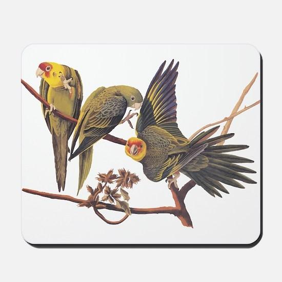 Three Parakeets from Audubon's Birds of America Mo