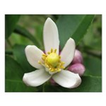 Lemon Blossom Small Poster