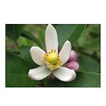 Lemon Blossom Postcards (Package of 8)