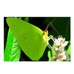 Cloudless Sulfur Butterfly Postcards (Package of 8