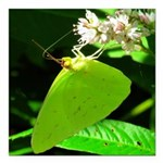 Cloudless Sulfur Butterfly Square Car Magnet 3