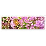 Bee on summer Milkweed Bumper Sticker