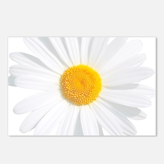 fresh white daisy Postcards (Package of 8)