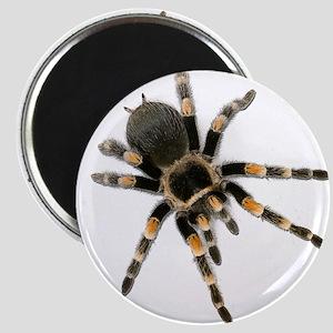 Tarantula Spider Magnets