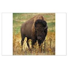 American Bison Large Poster