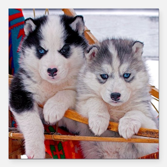 """Husky Puppies in sled Square Car Magnet 3"""" x 3"""""""