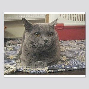 british shorthair gray Posters
