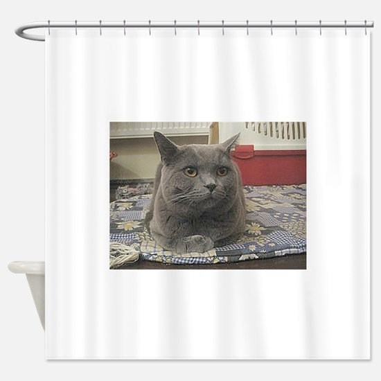 british shorthair gray Shower Curtain