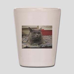 british shorthair gray Shot Glass