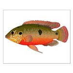 African Jewelfish Posters