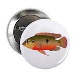 African Jewelfish 2.25