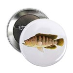Thinface Cichlid 2.25