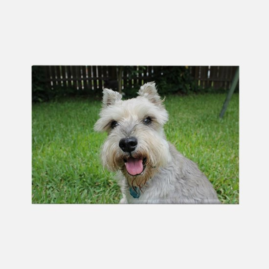Precious Mini Schnauzer on Grass Magnets