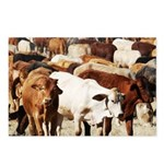 A Herd of Cattle Postcards (Package of 8)