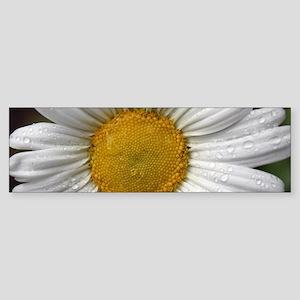 Dewy Daisy Bumper Sticker