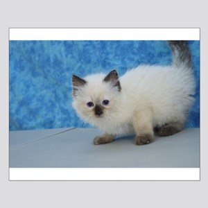 Holly - Seal Point Ragdoll Kitten Posters