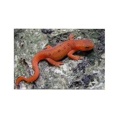 Amphibian Rectangle Magnet (100 pack)