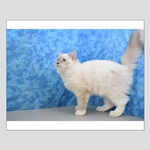 Mabel - Blue Mitted Lynx Ragdoll Kitten Posters