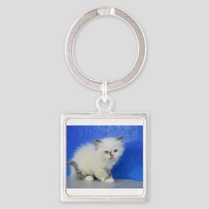 Jenny - Ragamuffin Kitten 126 Seal Tortie Mitted K