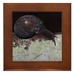 Pacific Sideband Snail Framed Tile