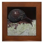 Pacific Sideband Snail Framed Tile